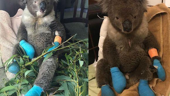 Este Koala estuvo a punto de morir si no fuera por la ayuda de las personas que lo llevaron a un veterinario y le curaron sus patas quemadas por los incendios en Australia, (Foto: 1300Koalaz Instagram)