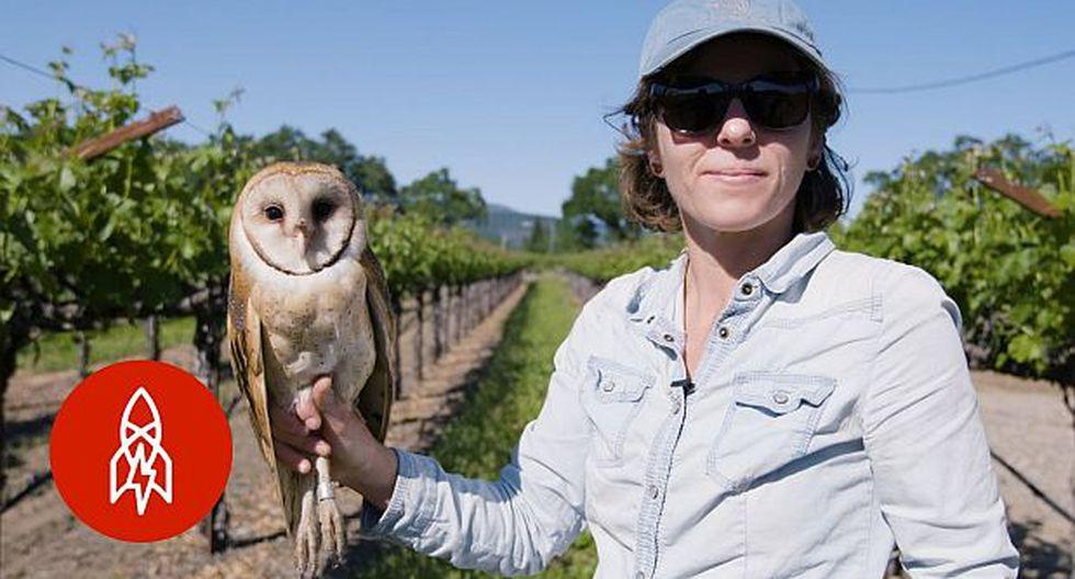 Búhos ayudan a fabricar uno de los mejores vinos del mundo