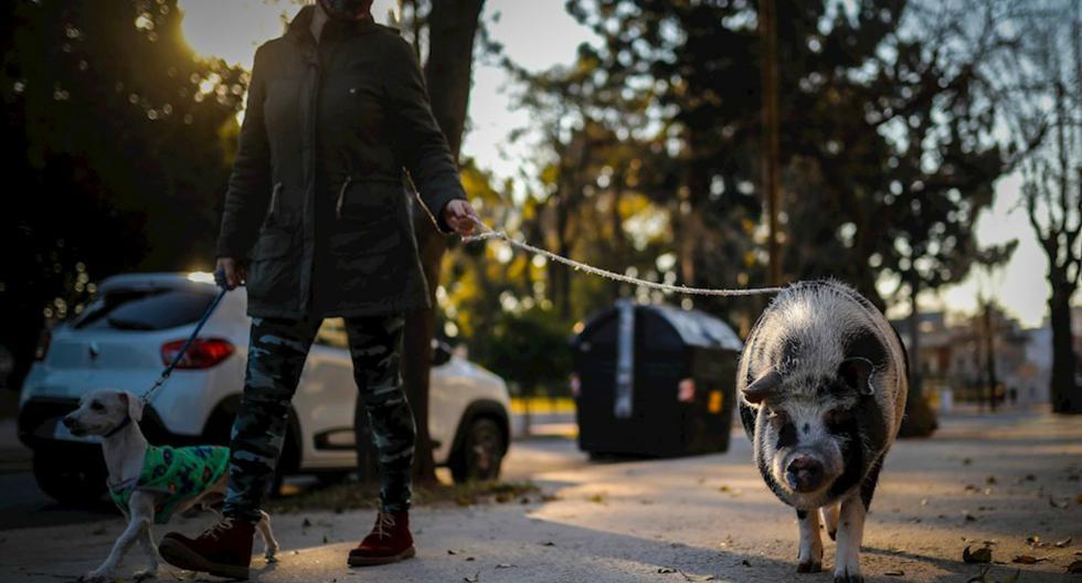 FOTO 1 DE 3 | Tuti llama siempre la atención: los niños se paran a saludarle, al igual que los perros, tan sorprendidos como sus dueños de ver a un cerdo caminando alegremente por las calles de la capital argentina. | Foto: Juan Ignacio Roncoroni / EFE (Desliza a la izquierda para ver más fotos)