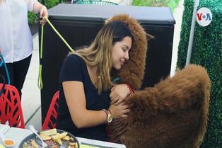Estados Unidos: alpacas peruanas son la atracción de grandes y chicos