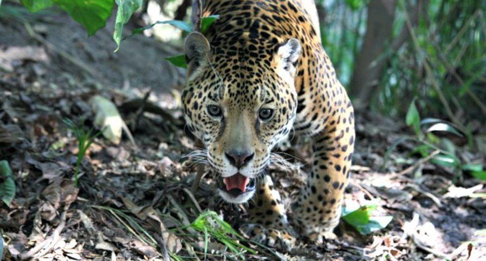 Los jaguares necesitan miles de hectáreas para poder ejercer su función como selectores naturales y depredadores máximos del bosque tropical. Foto: cortesía de Gerardo Ceballos.