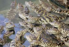 Hallan cocodrilos recién nacidos en una piscina pública
