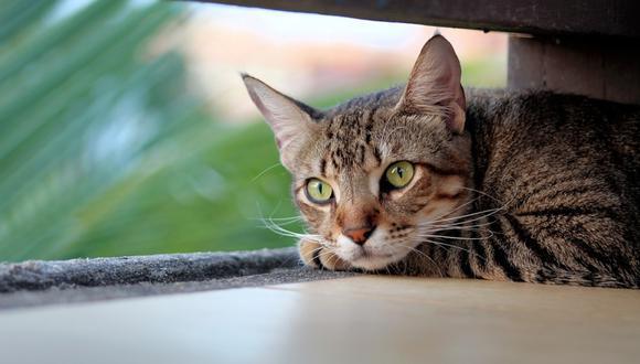 Su gato murió, lo cremaron y poco después apareció en su casa. (Foto: Referencial / Pixabay)