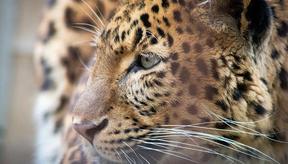 Leopardo intenta atacar a cuerpoespín y se lleva gran sorpresa. (Foto: Pixabay)