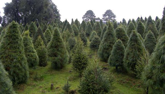 Árboles de Navidad son afectados por gran cantidad de plagas como consecuencia del cambio climático (Foto: EFE)