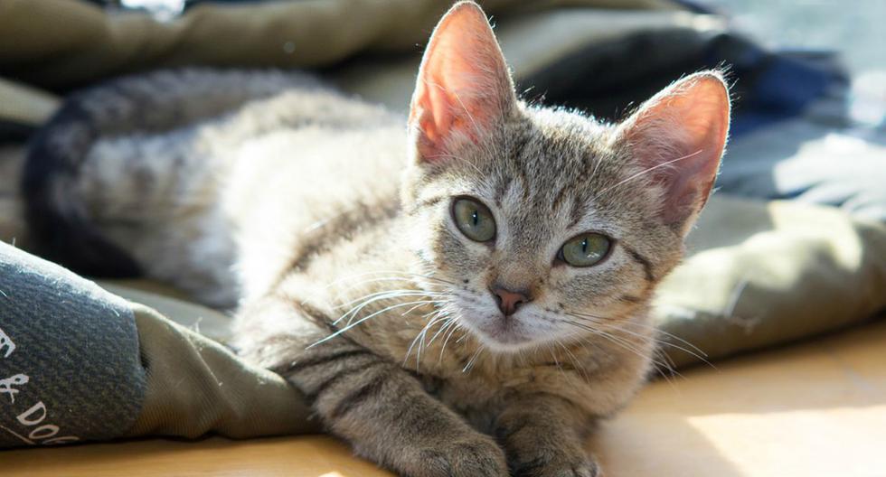 Los gatos se caracterizan por usualmente ser fríos y poco interesados en mostrar cariño a humanos. Por eso estas imágenes causaron sensación en Internet. (Foto: Referencial/Pixabay)