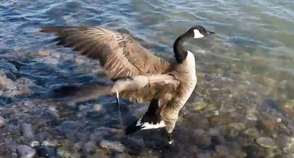 El ganso fue 'bautizado' como Honker por quienes le prestaron cuidados. (YouTube)