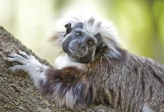 Proyecto Tití: el esfuerzo por proteger a un primate y a un bosque en peligro de extinción en Colombia