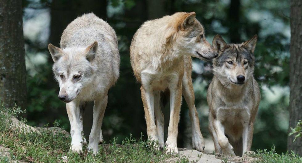 La impresionante filmación, publicada por la página de Facebook Wolf Conservation Center, acumula más de 20 mil reproducciones. (Foto: Referencial/Pixabay)