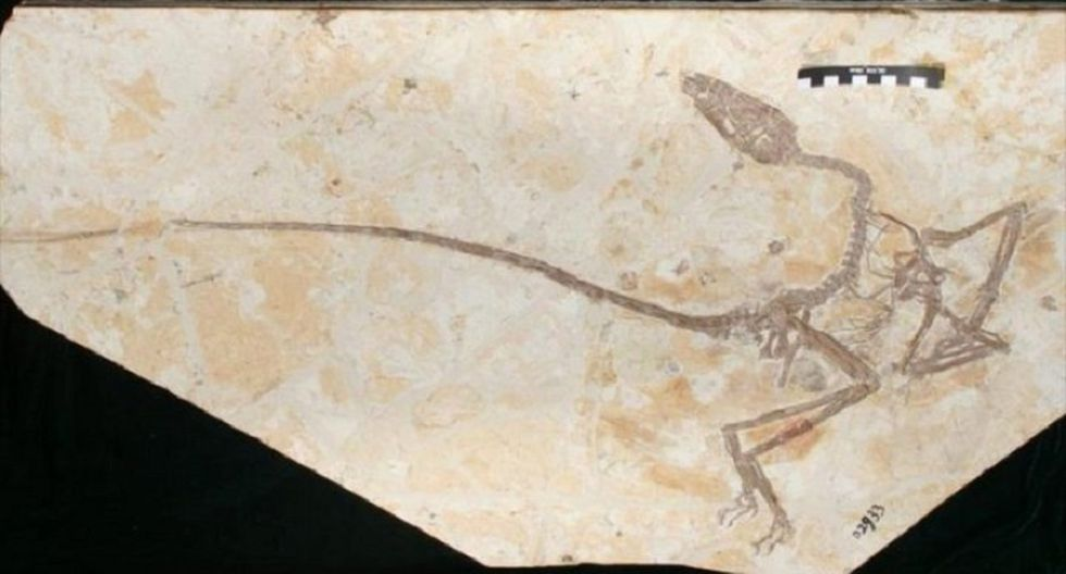 "Fotografía del fósil de un ""Wulong"" publicada en el estudio de The Anatomical Record. (Foto: Xinhua)"