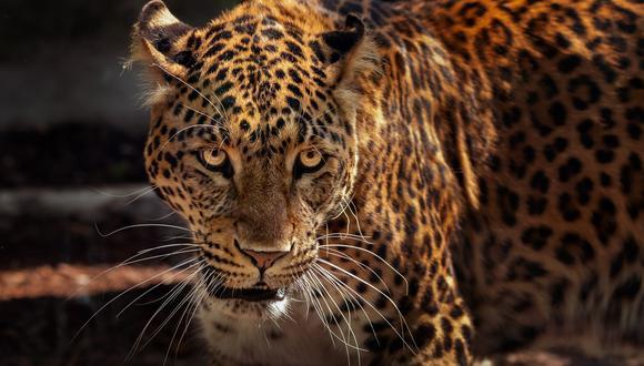 Turista capta el feroz enfrentamiento entre un jaguar y un grupo de nutrias, quienes defendían a muerte a una de ellas que había sido mordida por el animal salvaje. (Foto: Pixabay / referencial)