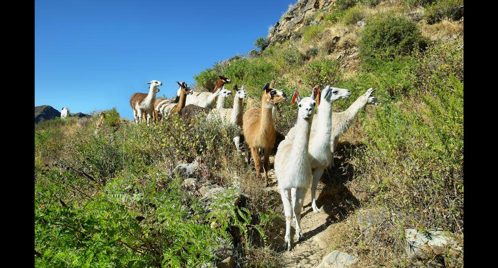 En la Reserva Paisajística Nor Yauyos Cochas hay 27.100 ovinos, 7.950 alpacas y 3.706 llamas.  Foto: Shutterstock.