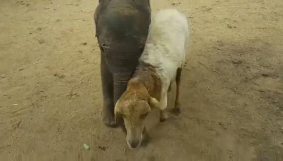 Oveja adopta elefante huérfano y ahora son inseparables [VIDEO]