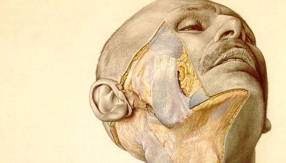 Una ilustración del atlas muestra la mejilla parcialmente disecada de un hombre. (Ilustración: Erich Lepier)