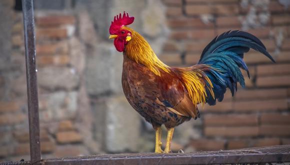 Un gallo mató a su dueño durante una pelea de gallos ilegal en India. (Foto: Pixabay / Referencial)