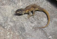 Nueva especie de lagartija para la ciencia es descubierta en la Reserva Paijsaística Subcuenca del Cotahuasi