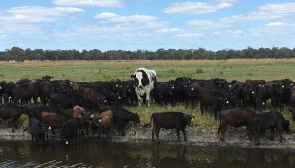 Knickers es seguido por sus compañeros de ganado en una granja en el occidente de Australia.
