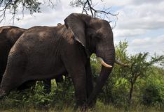 Muere un supuesto cazador furtivo pisoteado por elefantes en Sudáfrica