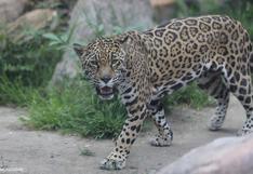 En video | ¿Qué son las unidades de conservación del jaguar? #MongabayExplica