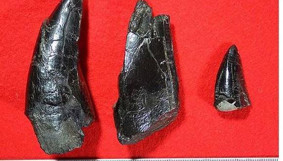 Hallan colmillos del mayor dinosaurio carnívoro de Japón