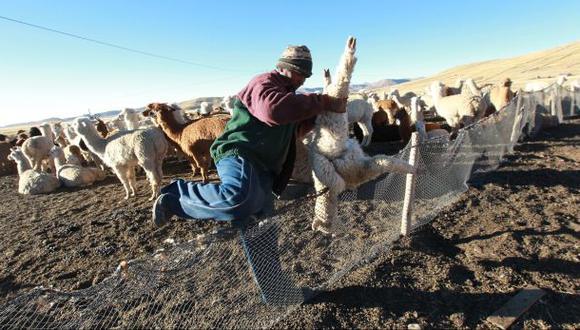 Muerte de alpacas en Puno: más de 170.000 solo en dos semanas