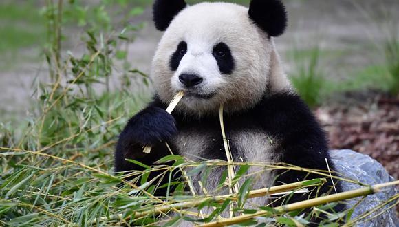 Meng Meng se divierte con un trozo de bambú en el zoológico de Berlín. (Foto: AFP)