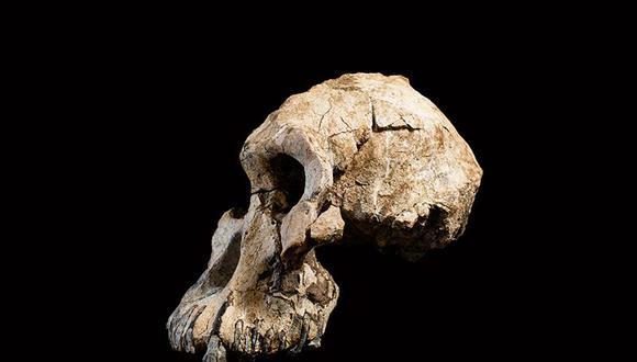 Un cráneo casi completo de la especie Australopithecus anamensis fue descubierto en Etiopía en 2016. (Foto: Dale Omori / Museo de Historia Natural de Cleveland)