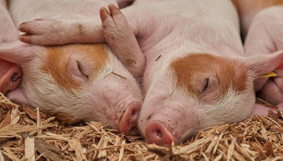 Granja busca a voluntarios que quiera abrazar a sus cerdos rescatados. (Foto: Pixabay / referencial)