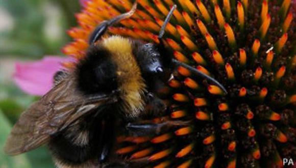 Las abejas están contagiando a los abejorros