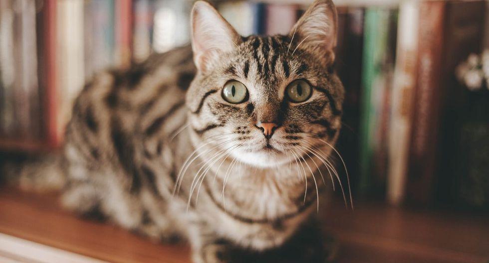 El video del gato puede tener muchas más reproducciones dentro de poco. (Foto referencial: Pixabay)