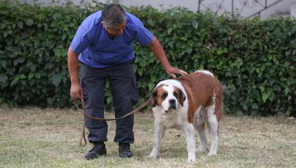 Murió perra San Bernardo que fue usada como 'burrier' por mafia