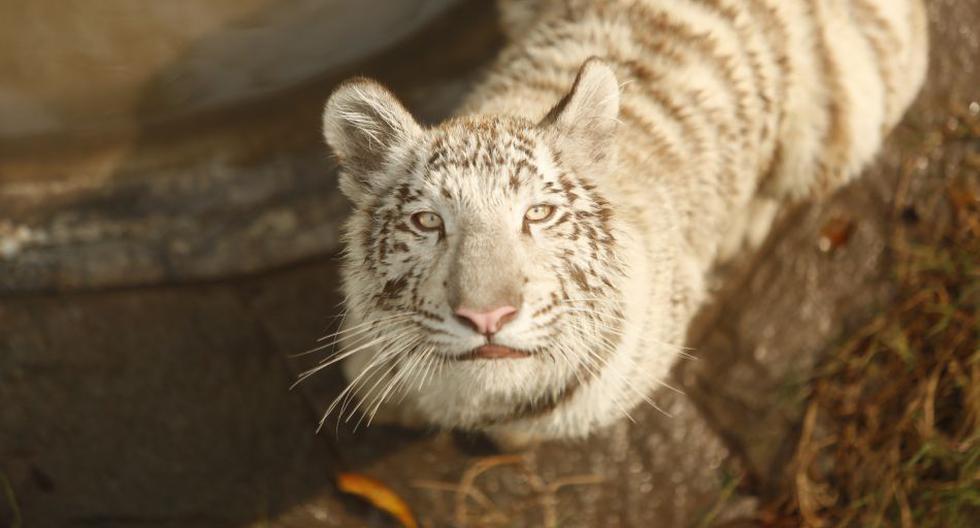 Así luce el primer tigre blanco nacido en cautiverio en el Perú - 1