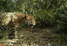 Colombia: ¿cómo el jaguar se ganó un lugar en el plan de ordenamiento territorial de Santa Marta?