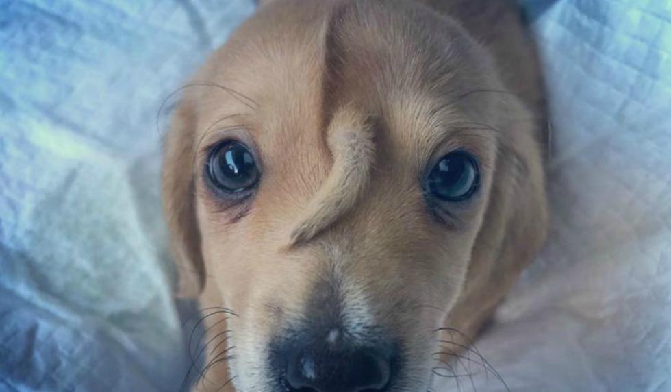Se viralizó en Facebook la historia de Narwhal, un perrito que nació con una cola en su frente. (Foto: Facebook/Mac the pitbull)