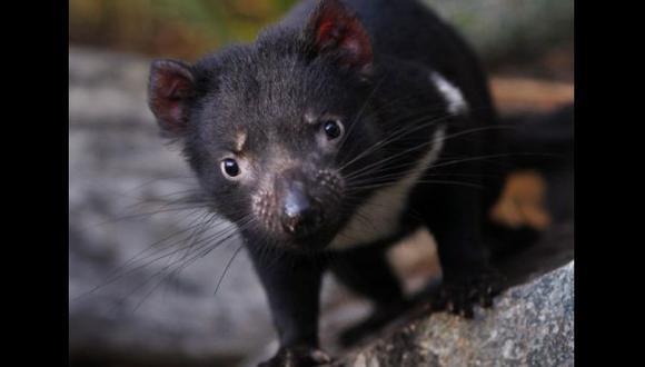 En 25 o 35 años los demonios de Tasmania podrían desaparecer