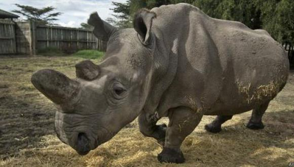 Buscan salvar al rinoceronte blanco usando células madre