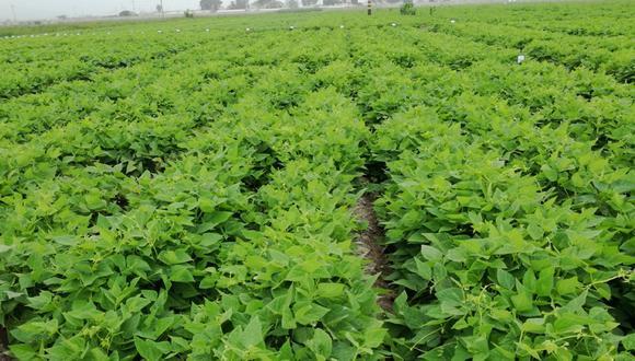 El INIA en el marco del Día del Investigador Agropecuario presentó nuevas variedades de maíz amarillo y frijolde alto rendimiento productivo y calidad genética que impulsarán el desarrollo de la agricultura familiar e intensiva. (Foto: INIA)