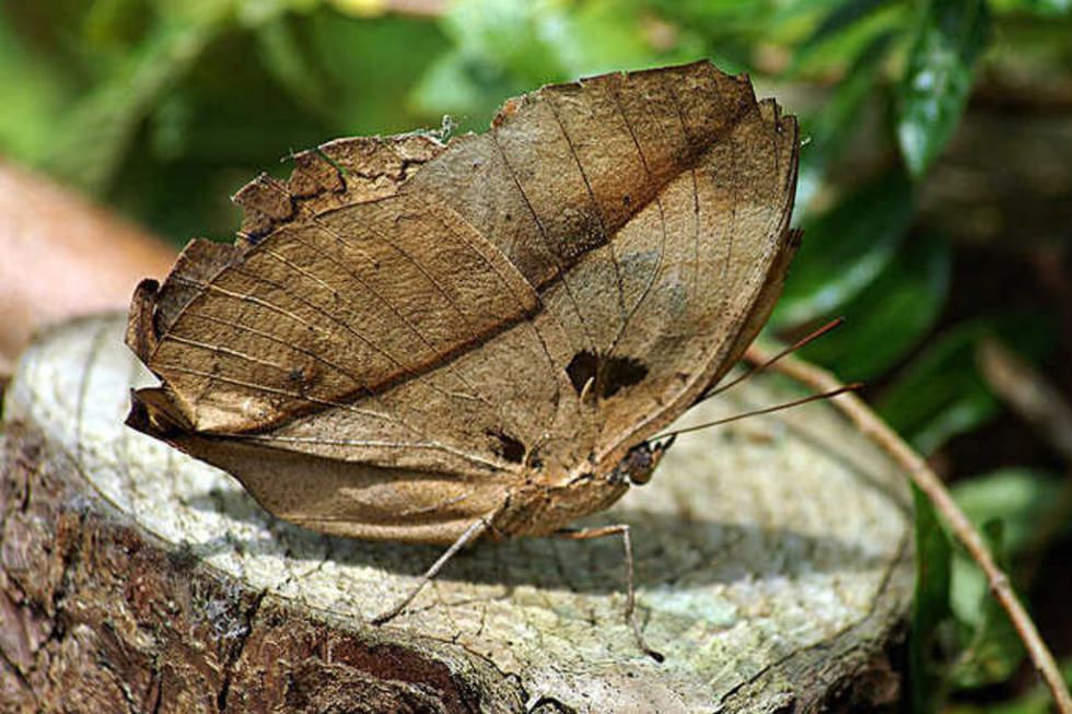 La kallima inachus es una especie de mariposa considerada una experta en camuflaje. (Foto: Wikipedia/Referencial)