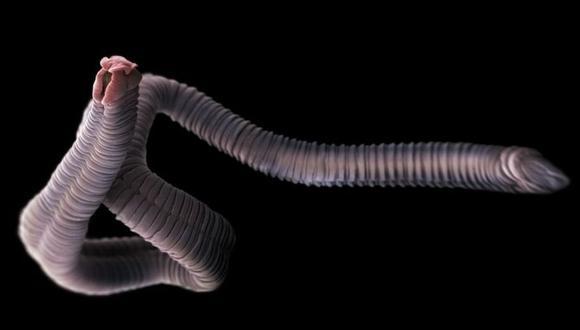Aunque la mayoría de los protozoos y los helmintos son, por lo general, no patógenos, algunos sí pueden producir enfermedades graves en los seres humanos. (Foto: Getty)