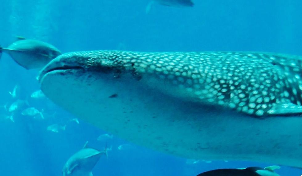 Los tiburones ballena se encuentran presentes en el planeta desde hace millones de años. (Foto referencial: Pixabay)