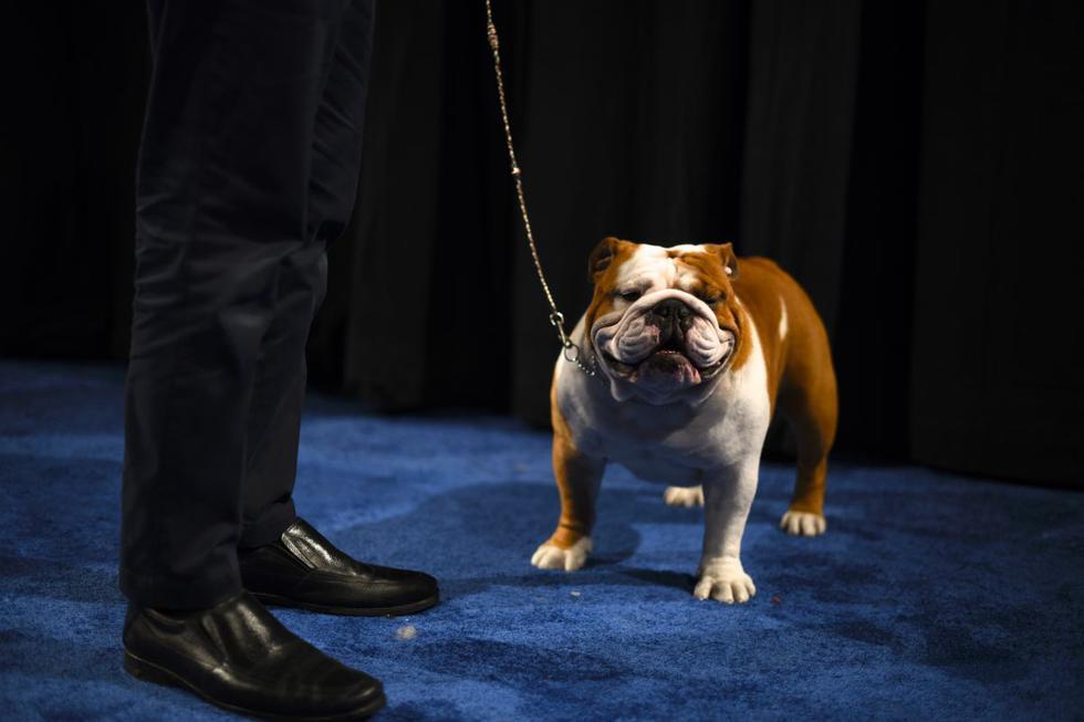 Foto 1 de 6 | 'Thor', un bulldog de 2 años, cautivó a los jueces y miles de espectadores del tradicional concurso en Estados Unidos. (Foto: Getty Images)
