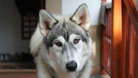 En YouTube se viralizó el curioso accionar de un perro husky cuando su dueña no está en casa. (Foto: Referencial/Pixabay)