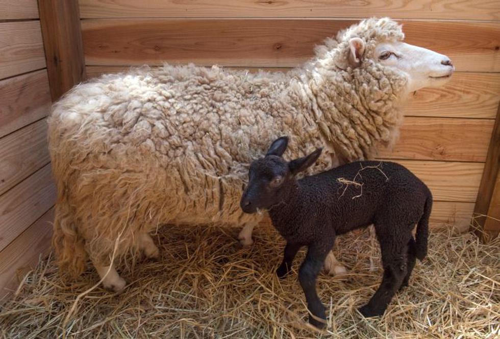 "Nació la ""oveja negra de la familia"" y se volvió la má spopular del zoológico. (Foto: AFP)"