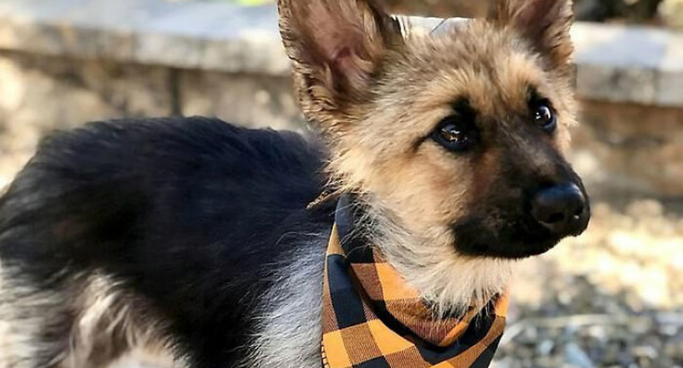 Pese a unos problemas de salud tras su diagnóstico, 'Ranger' ahora es un perro sano y feliz, al punto de convertirse en toda una celebridad en Internet. (Foto: @ranger_thegshepherd en Instagram)