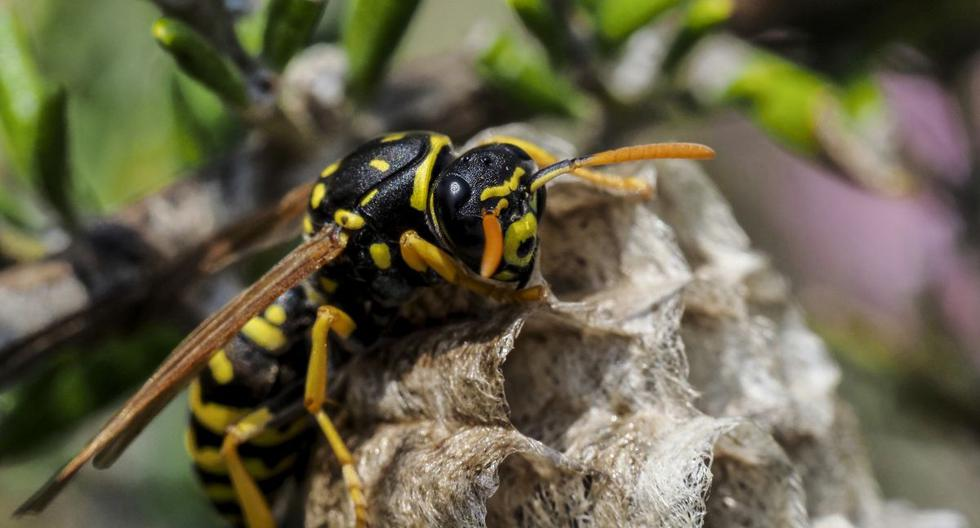 Una avispa normal puede medir entre 1 cm y 1,5 cm, aunque su reina llega casi a los 2 cm (Foto: AFP)