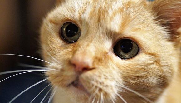 A pesar de que coman bien, muchas veces los gatos bajan de peso, alertándonos que algo no está bien (Foto: Pixabay)