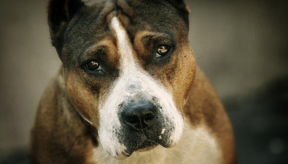 La perrita de raza pitbull compareció a pedido de una jueza en el proceso que se le sigue a su maltratador. (Foto: Pixabay/Referencial)