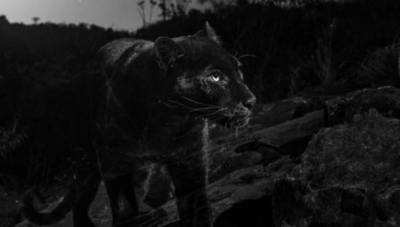 Los leopardos negros se asocian generalmente con bosques densos donde su coloración puede ofrecer camuflaje. Foto de una cámara trampa de Camtraptions, cortesía de Will Burrard-Lucas