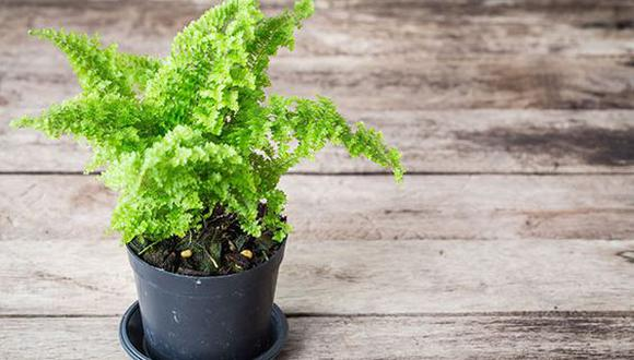 El helecho es una planta de interiores por excelencia. (Foto: Pinterest Mil ideas)