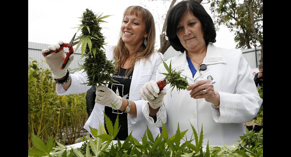 Chile realizó primera cosecha legal de marihuana de la región - 3
